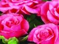Pink Bari™ Forever®