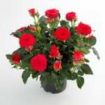 Rosa hybrid Moscow rose Roses Forever - Rosa ApS - New Plant IPM 2015