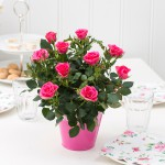 Rosa_hybrid_Pink_Moscow_Forever_-_Roses_Forever_-_Rosa_ApS_-_New_Plant_Ipm_2015